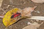 Heteroptera - 20 mm environ - Magdiwag - Sibuyan - 30.6.16