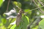 Cerambycidae - Apriona ruxator - 45 mm - Lucena - 12.7.2016
