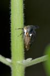 Membracidae - 4 mm - Lucena - 16.7.2016