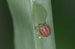 Issidae - Hemisphaerius - 4 mm - Lucena - 16.7.2016
