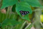 Noctuidae - Mimeusemia semyron - 50 mm envergure - Lucena - 17.7.2016