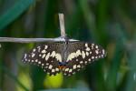 Papilionidae - Papilio demoleus - 90 mm envergure - Lucena - 17.7.2016