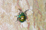 Scutelleridae - Larve - 5 mm - Calayan - Mindoro - 20.7.2016