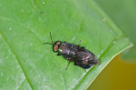 Diptera - 10 à 11 mm - Calayan - Mindoro - 20.7.2016
