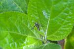 Stathnopodidae - 9 à 10 mm - Calayan - Mindoro - 20.7.2016