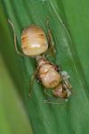 Formicinae - Oecophylla smaragdina - Reine - 18 mm - Calayan - 20.7.2016 - Sur sa ponte au creux d'une feuille