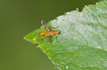 Diptera sp - 5 mm - Calayan - Mindoro - 20.7.2016