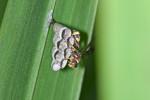 Vespidae - Ropalidia sp - 11 mm - Calayan - Mindoro - 21.7.2016