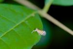 Flatidae ? - 2 à 3 mm - Talipanan - Mindoro - 25.7.2016