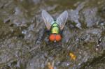 Muscidae - Muscinae - Muscini - 6 mm - Lucena - 28.7.2016