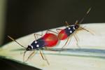Pyrrhocoridae - Dindimus pulcher - 10 et 14 mm - Quezon National Park - 29.7.2016
