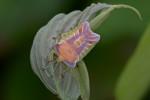 Tessaratomidae - Pygoplatis sp - 16 mm - Bulusan lake - 12.8.2016