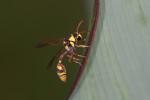 Vespidae - Euminae - Delpa campaniforme - 20 à 22 mm - Catanduanes - 5.8.2016