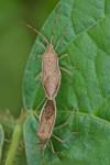 Coreidae - Homoeocerus marginellus ? - 12 et 14 mm - Catanduanes - 6.8.2016
