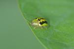 Chrysomelidae - Cassidinae - Aspidimorpha circumdata Herst - 4 mm - Catanduanes - 6.8.2016