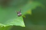 Membracidae - 3 à 4 mm - Catanduanes - 6.8.2016