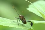 Coreidae - Leptoglossus ? - 16 à 17 mm - Catanduanes - 6.8.2016