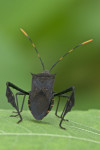 Coreidae - Leptoglossus ? - 16 à 17 mm - Puraran - Catanduanes - 6.8.2016