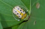Chrysomelidae - Cassidinae - Aspidimorpha miliaris - 10 mm - Catanduanes - 7.8.2016