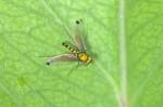Sciaponidae - 4 à 5 mm - Catanduanes - 7.8.2016