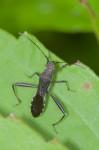 Alydidae - 12 mm - Catanduanes -