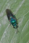 Chrysididae - Chrysidinae - Chrysidini indéterminé - 11 mm - Catanduanes - 8.8.2016