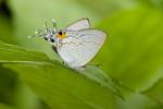 Lycaenidae - Hypolycaena erylus - 30 mm envergure environ - Catanduanes - 9.8.2016