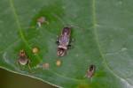 Rhyparochromidae ? - 9 mm - Catanduanes - 9.8.2016