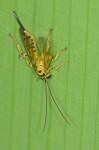 Ichneumonidae  - Femelle - 13 mm - Catanduanes - 9.8.2016