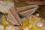 Nymphalidae - Satyrinae - Amathusia phidippus - 100 à 120 mm envergure - Bulusan lake - 12.8.2016