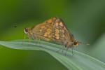 Hesperiidae - Taractrocera luzonensis - 25 mm envergure - Bulusan lake - 12.8.2016