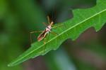 Reduviidae - Harpactorinae - 14 mm - Bulusan - 13.9.2016