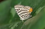 Lycaenidae - Spindasis syama - 30 mm envergure - Bulusaan lake - 12.8.2016