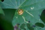 Chrysomelidae - Cassidinae - Aspidimorpha sp - 9 mm - Calayan - Mindoro island - 19.7.2016