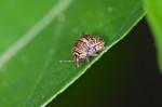 Plataspidae - 4 à 5 mm - Lucena - 28.7.2016