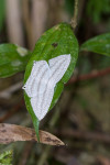 Uraneidae - Micronia aculeate - 45 mm - Bulusan lake - 14.8.2016