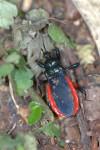 Reduviidae - Ectrichodinae - Ectrychotes haematogaster (Burmeister 1834 ) - 14 mm - Bulusan lake - 14.8.2016