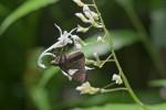 Hesperiidae - Notocrypta paralysos - 30 mm - Panay - 18.8.2016