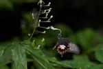 Papilionidae - Menelaides polyties - female - 90 mm - Panay island - 18.8.2016