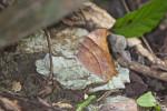Nymphalidae - Satyrinae - Melanitis leda 100 mm - Panay island - 18.8.2016