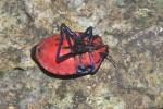 Scutelleridae  - 22 mm - Panay island - 20.8.2016