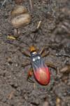 Pyrrhocoridae - Dindymus pulcher - 13 mm - Panay island - 20.8.2016