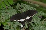 Papilionidae - Menelaides polytes - Mâle - Mâle - 20.8.2016