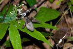 Papilionidae - Menelaides polyties - couple - Couple - 90 à 100 mm - Panay island - 20.8.2016