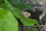 Hesperiidae - Suastus migreus - 30 mm - Romblon - 26.8.2016