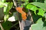 Nymphalidae - Nymphalinae -  Junonia hedonia - 65 à 70 mm - Romblon - 26.8.2016