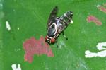 Platystomatidae - Scholastinae - 7 à 8 mm - Romblon - 27.8.2016