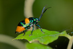 Scutelleridae - Chrysocoris sp - 13 mm - Quezon National Park - 30.8.2016