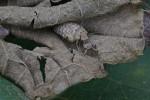 Myrmeleontidae - Myrmeleon sp ? - Larve - 10 mm - 8.12.2013