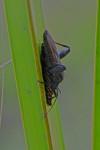 Coreidae ? - 17 mm - Lucena - 17.12.13